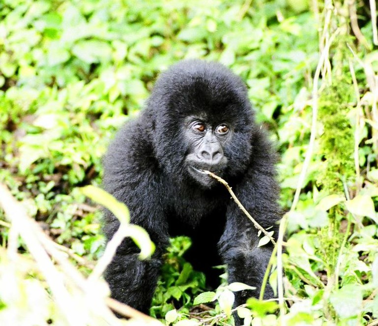 14 Day Gorilla Tours in Uganda (Camping)