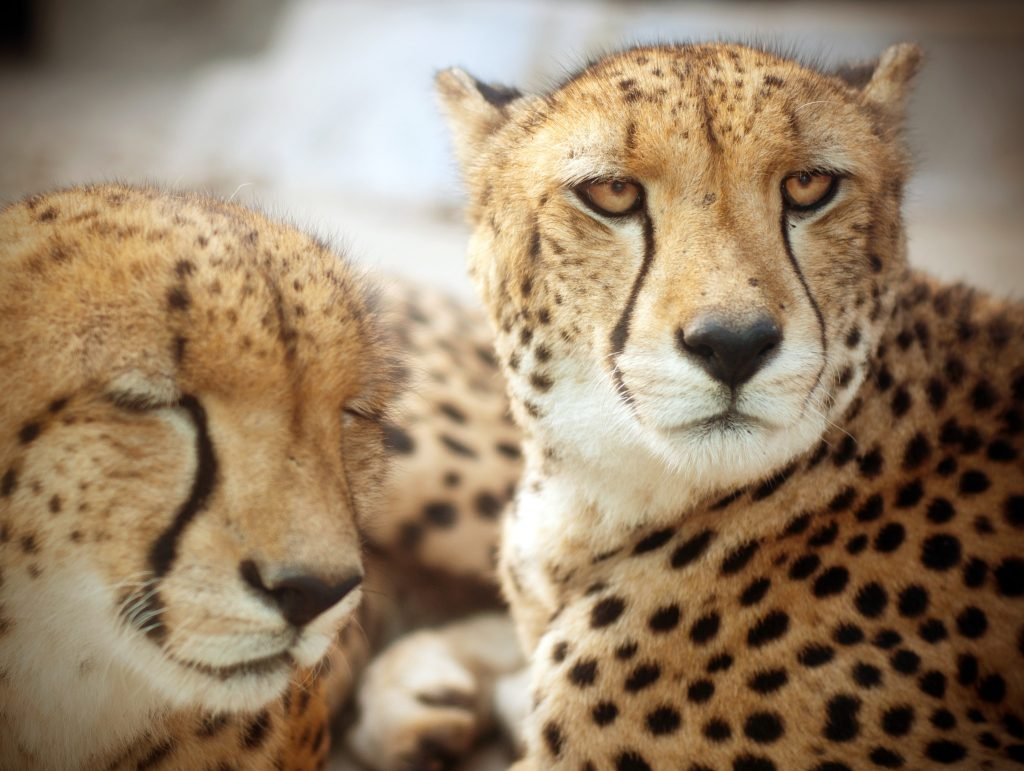 De Wildt Cheetah & Wildlife Centre