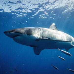 Shark Cage Diving Full Day Tour