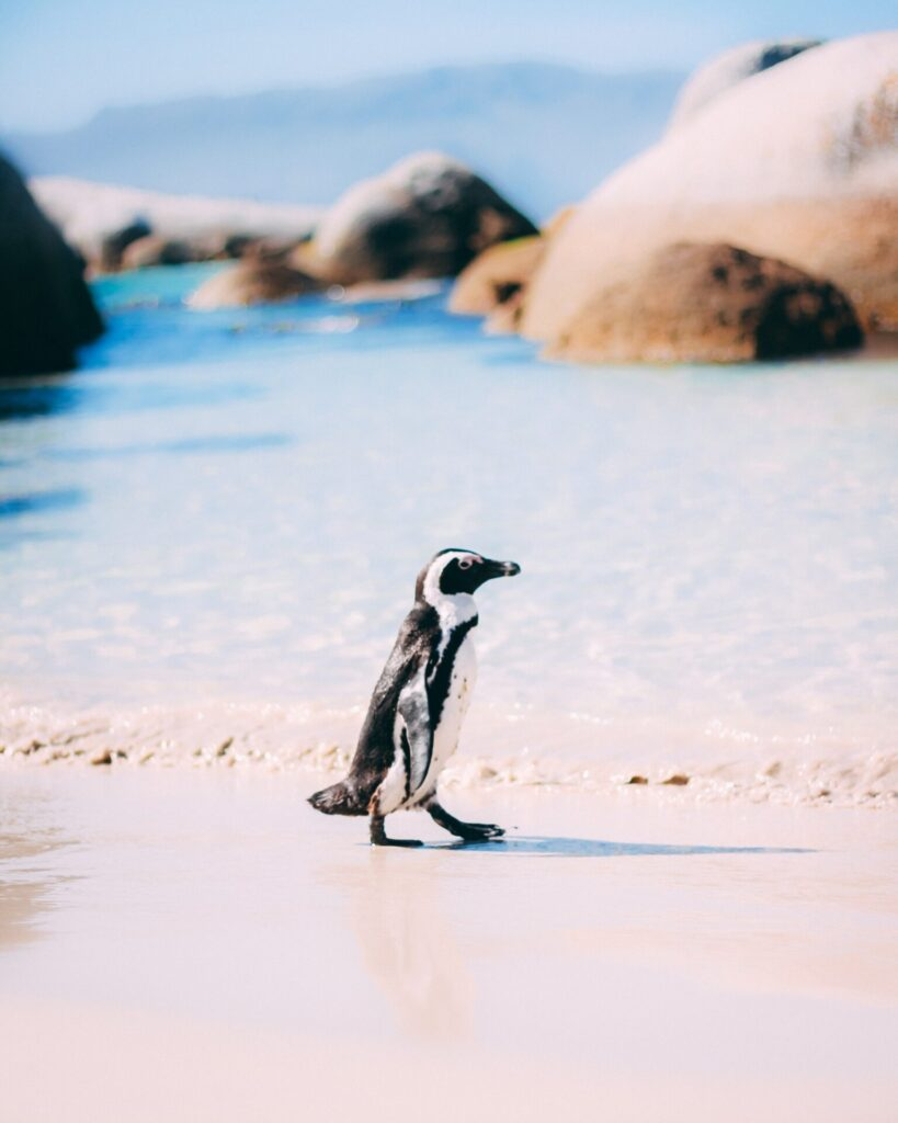 Penguin Colony in Simons Town