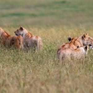 7 Day Big Migration Camping Safari